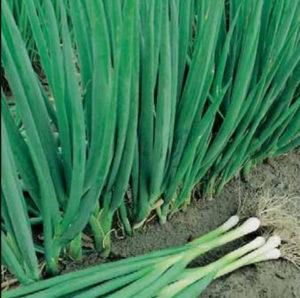 как вырастить лук батун