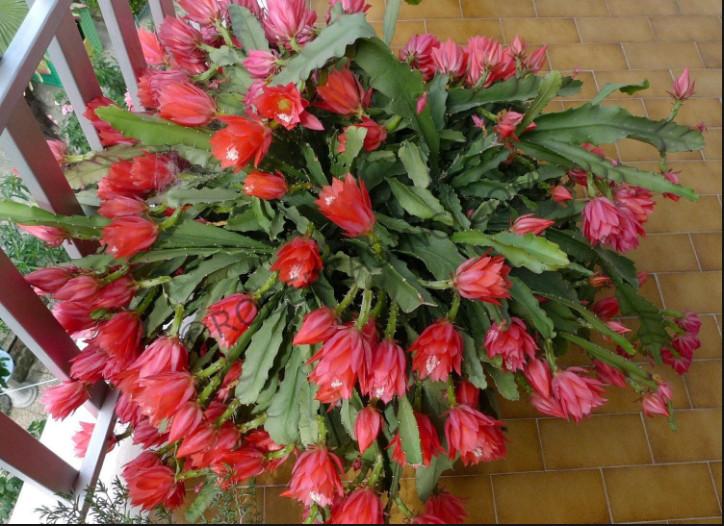 уход за кактусом с красными колючками