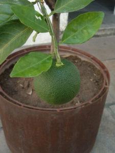 как ухаживать за лимоном, как ухаживать за лимоном в домашних условиях