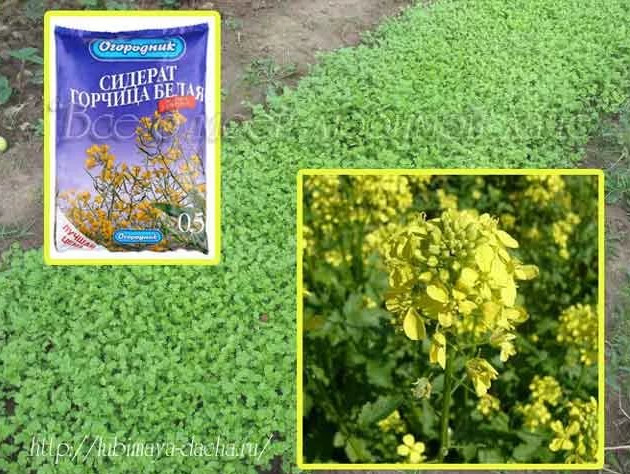 Как сажать семена горчицы для оздоровления огорода 27