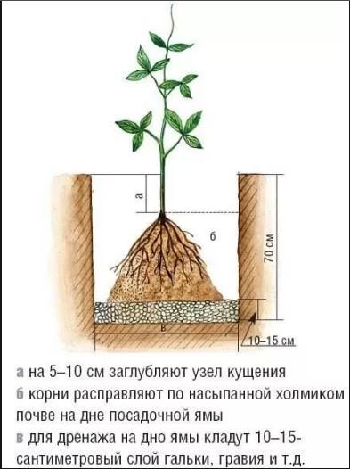 Как правильно посадить клематис