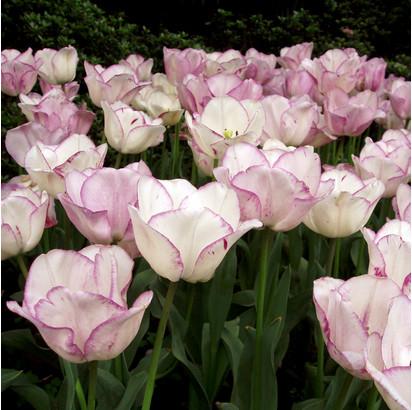 надо ли выкапывать тюльпаны