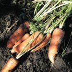 Как сохранить морковь на зиму: 4 главных правила