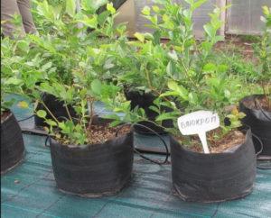 как правильно посадить голубику садовую