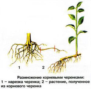 как размножить сливу черенками, как размножить сливу корневой порослью