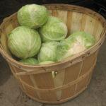 Особенности выращивания капусты на даче