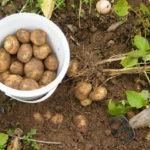 Выращивание картофеля на даче: советы агронома