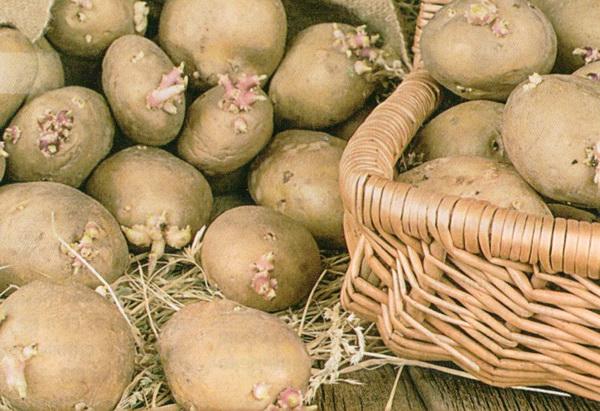 как проращивать картофель перед посадкой