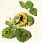 Черная пятнистость на розах: лечение и профилактика