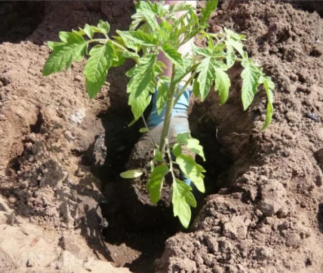 как посадить рассаду помидоров в открытый грунт