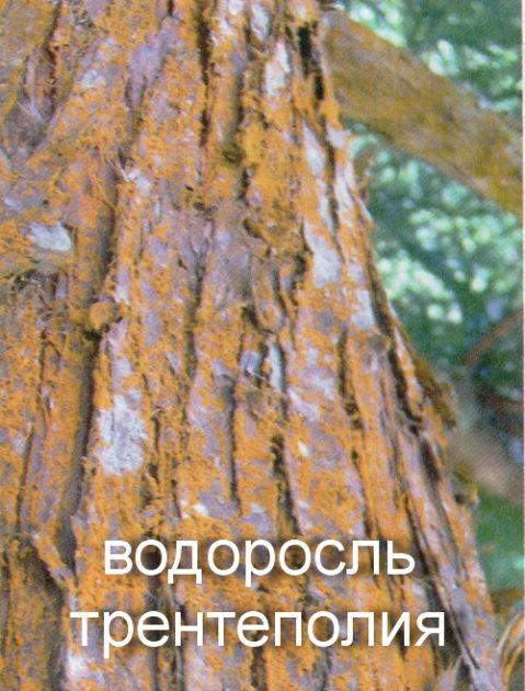 водоросль трентеполия