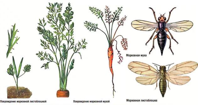 почему у моркови скручиваются листья