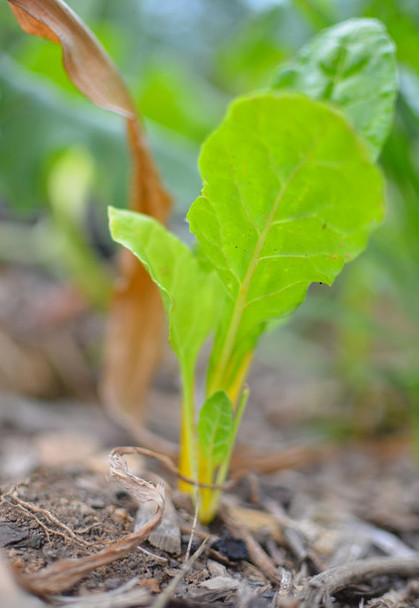 мангольд, выращивание мангольда
