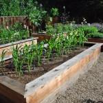 Как вырастить кукурузу на приусадебном участке