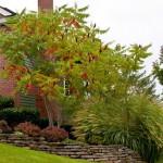 Сумах оленерогий или сумах уксусный — выращивание и применение в ландшафтном дизайне