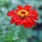 Чудесный цветок цинния: выращивание, уход и декоративное использование в саду