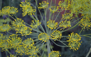 пряные травы, пряные травы в огороде