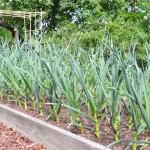 Как посадить чеснок осенью (из личного опыта)