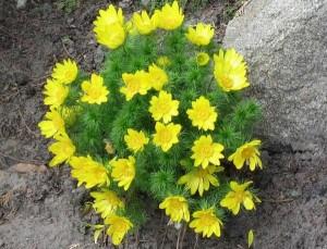 растения для альпийских горок