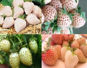 земляника с белыми ягодами