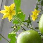 Искусственное опыление томатов в домашних условиях вручную