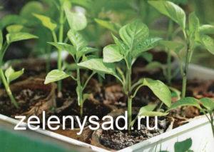 вырастить хорошую рассаду перцев