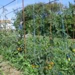 Помидоры в открытом грунте в Подмосковье: лучшие сорта, посадка и выращивание