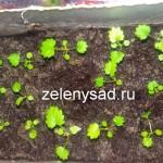 Выращивание клубники из семян в домашних условиях (из личного опыта)