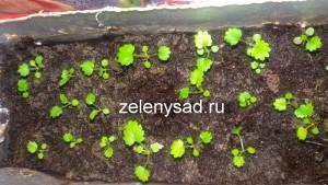выращивание клубники из семян, выращивание клубники из семян в домашних условиях, выращивание клубники из семян в домашних условиях из личного опыта
