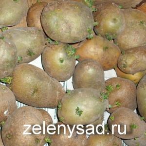 как подготовить картошку к посадке