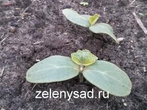 когда сажать огурцы в открытый грунт семенами, как сажать огурцы семенами в грунт
