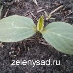 Как и когда сажать огурцы в открытый грунт семенами