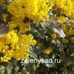 Прекрасная вечнозеленая магония падуболистная: уход и выращивание