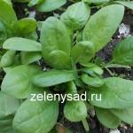 Как вырастить шпинат в огороде: особенности посадки и ухода