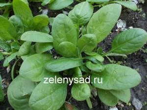 как вырастить шпинат, как вырастить шпинат в огороде