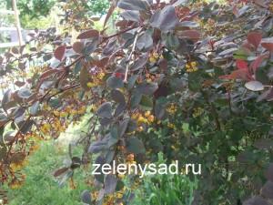барбарис выращивание и уход, как ухаживать за барбарисом