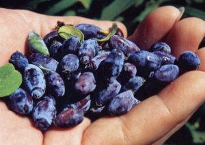 размножение жимолости семенами, размножение жимолости съедобной