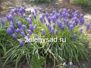 цветы мускари фото, фото цветов мускари