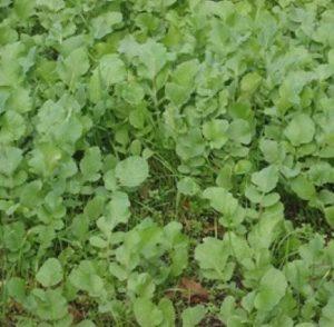 растения сидераты, какие сидераты лучше, какие сидераты посадить