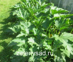 чем подкормить кабачки, чем подкормить кабачки во время цветения чем подкормить кабачки после высадки в грунт, чем подкормить кабачки для роста