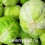 Как вырастить хороший урожай капусты: 5 главных хитростей
