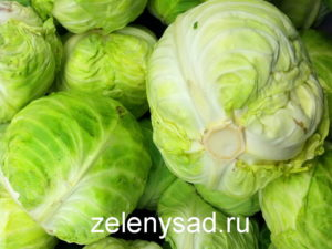 как вырастить хороший урожай капусты, как вырастить хороший урожай капусты в открытом грунте