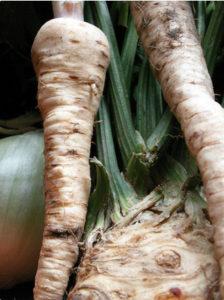 выращивание корневой петрушки из семян, петрушка корневая уход