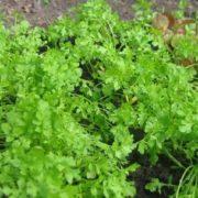 Ранняя зелень в теплице: что можно посадить весной в теплице из поликарбоната