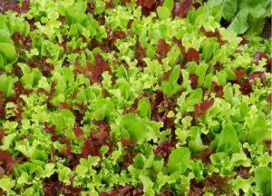 ранняя зелень в теплице, что можно посадить весной в теплице из поликарбоната