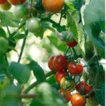 Как ускорить созревание помидоров в открытом грунте и теплице: 6 способов