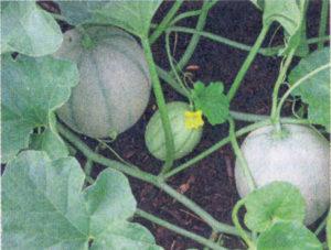как вырастить дыню в теплице, выращивание дыни в теплице