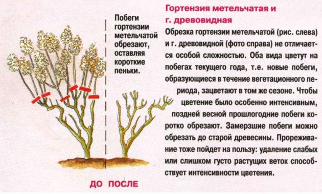 гортензия метельчатая обрезка, обрезка гортензии метельчатой осенью, гортензия метельчатая как обрезать, как обрезать метельчатую гортензию на зиму