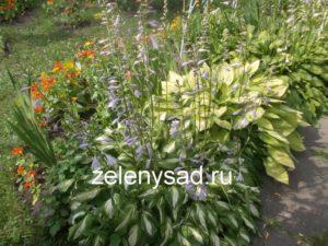 посадка и уход за хостами в открытом грунте, хоста посадка и уход фото в саду, хоста посадка и уход фото в саду, фото хосты в саду