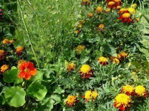 бархатцы из своих семян, как вырастить бархатцы из своих семян